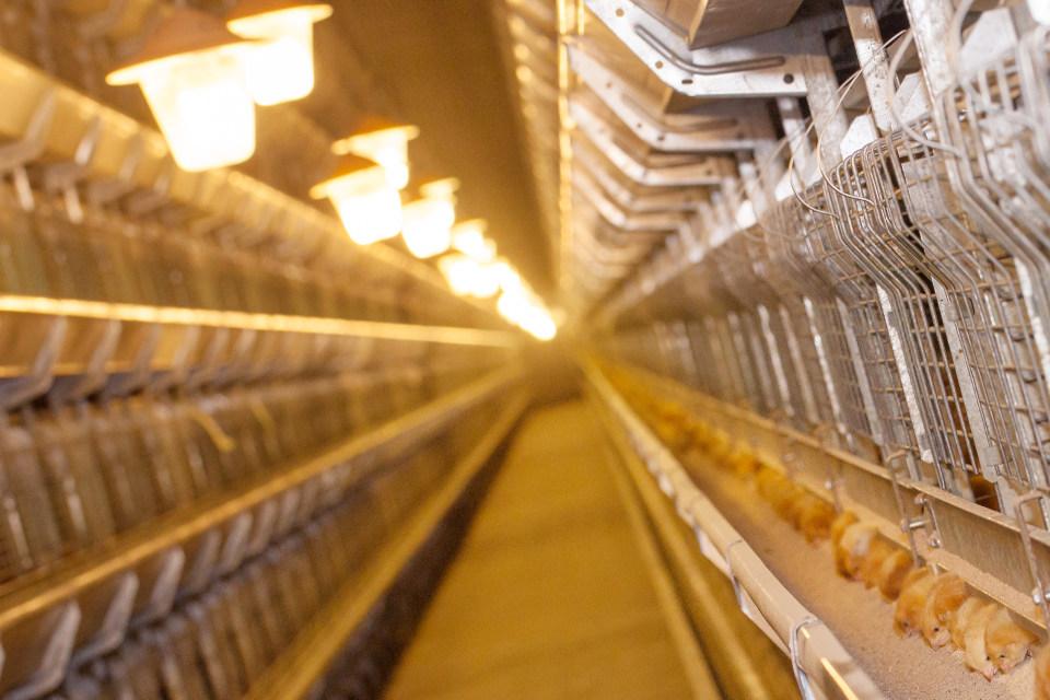 Odchów kurek przeznaczonych do produkcji jaj w systemie klatkowym